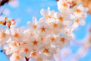 [Titre du site] cherry-2250834_1280